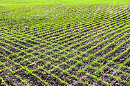 A fresh crop of soy beans has just started to grow out of the rich, dark soil of east central Illinois.