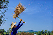 Jin, a local farmer in Nakhon Nayok, harvests rice in the morning sun.