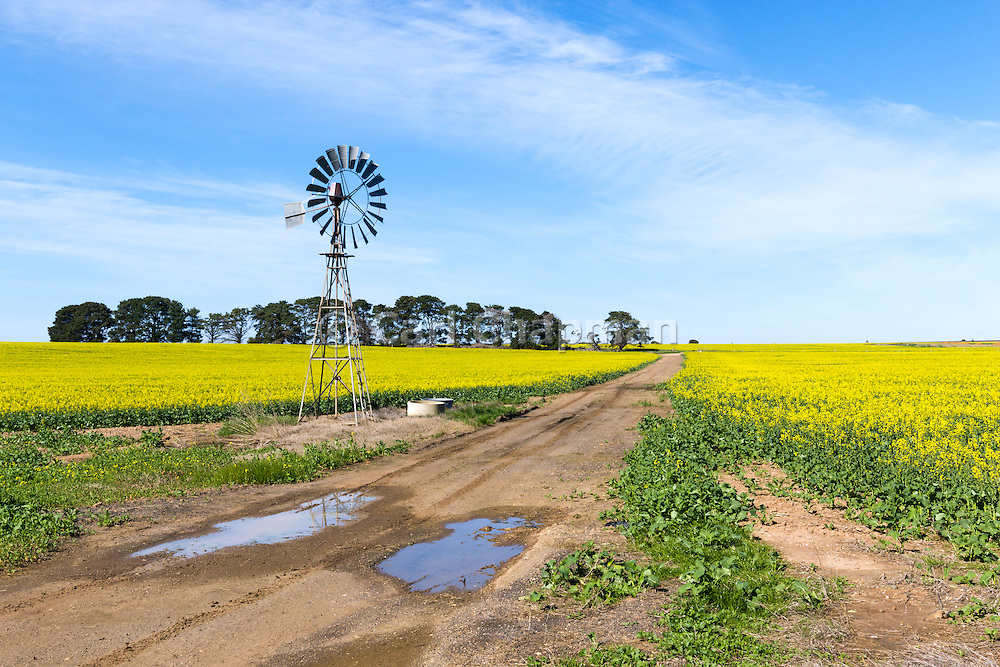 Windmill in a field of canola crop, next to a dirt track in Inverleigh, Victoria, Australia.
