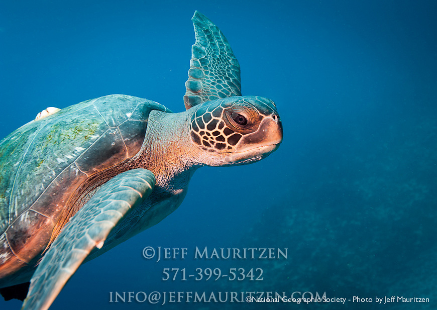 Galapagos Green Sea Turtle glides past at Gordon Rocks dive site in ... Pacific Ocean Underwater Animals