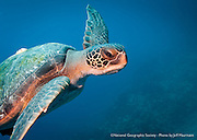 A Galapagos Green Sea Turtle glides past at Gordon Rocks dive site in the Galapagos Islands of Ecuador.