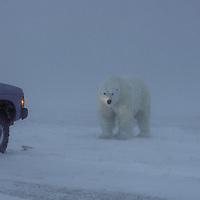Polar Bear in Snow Blizzard ( Ursus maritimus )&amp;#xA;Hudson Bay Churchill Canada   human interaction danger&amp;#xA;winter , tundra , arctic , ice ,  marine mammal , snow  &amp;#xA;@ Kike Calvo - V&amp;W<br />
