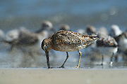 Short-billed Dowitcher (Limnodromus griseus)<br /> Little St Simon's Island, Barrier Islands, Georgia<br /> USA<br /> HABITAT &amp; RANGE: Coastal waterways of USA, Central and northern South America