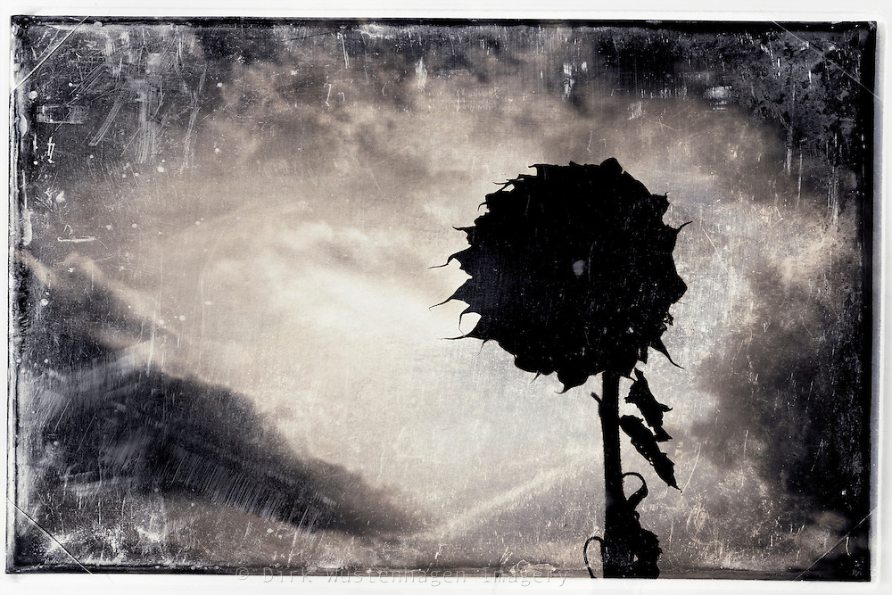 Silhouette of a withered and dry sun flower.