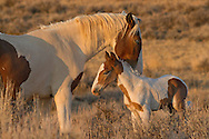 The yearling colt, Tonkawa,  brother to this newborn colt, nuzzles him close after he approaches while searching for his mother, the bay tobiano mare, Ruger.
