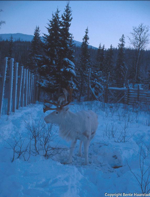 kjørerein Wilks, Roktdalen i Snåsa. Sørsamisk reindrift i Nord-Trøndelag. Southsami reindeer herding in Mid-Norway.