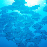 Batfish / Vanuatu