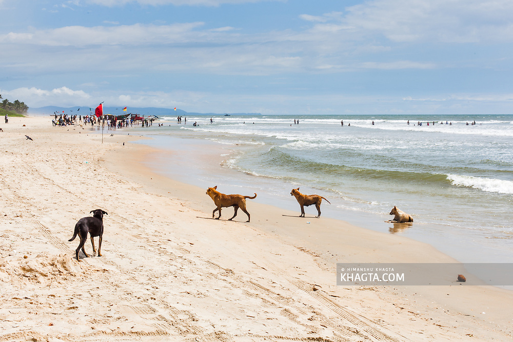 Dogs enjoying the salty water of the Arabian Sea at Colva Beach, Goa