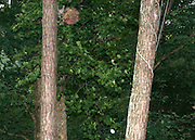 A large red orb floating up between two pine trees with a little white orb below it.