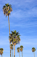 Morning light on palm trees in Los Angeles, California