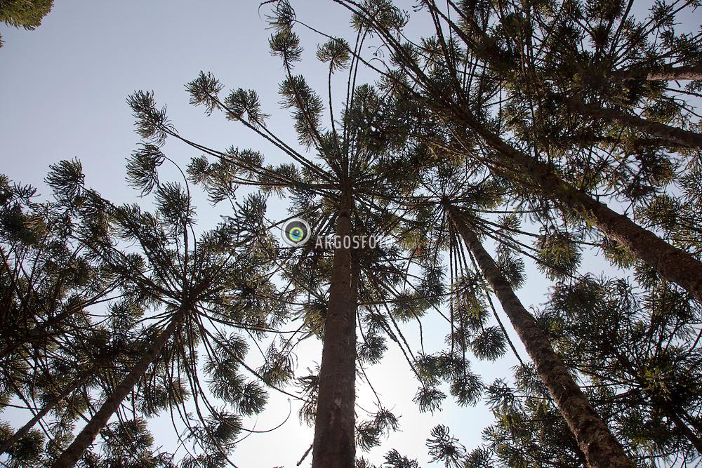O pinheiro-do-parana (Araucaria angustifolia) ou pinheiro-brasileiro,  eh a unica especie do genero Araucaria encontrada no Brasil. Fotografadas em Goncalves, MG, na Serra da Mantiqueira / Araucaria angustifolia, the Parana pine or Brazilian pine, is a species in the conifer genus Araucaria. Pictured in Goncalves, MG, Brazil.