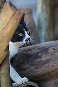 Domestic cat, Chiang Mai, Thailand