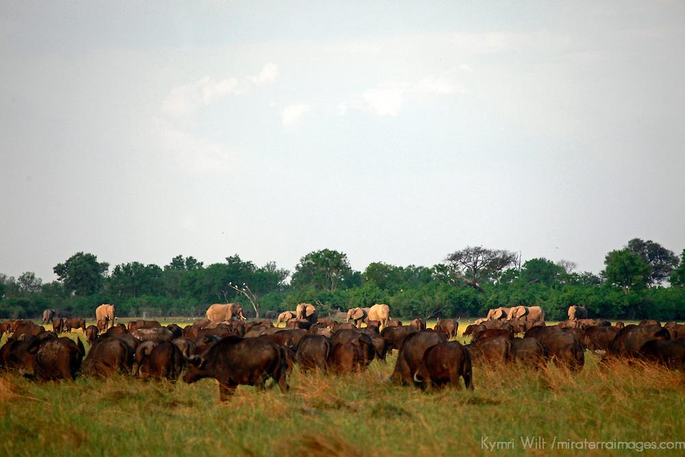 Africa, Botswana, Savute. Buffalo and elephants of Chobe National Park.