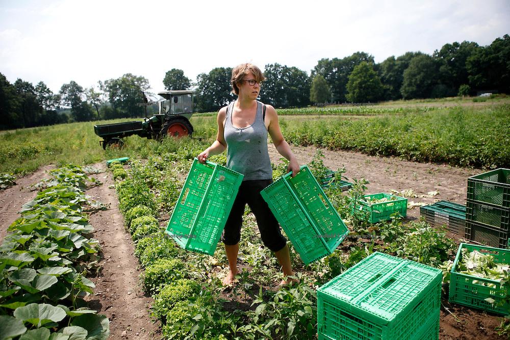 Gärtnerin Sarah Kerwath erntet frischen Kopfsalat auf dem Gärtnerhof Bienenbüttel