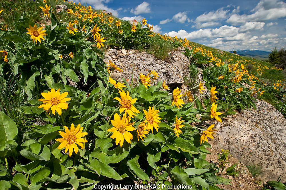 Mule Ears wildflowers growing on a hillside in southern Montana, June