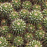 &quot;Pincushion Cactus&quot;<br />