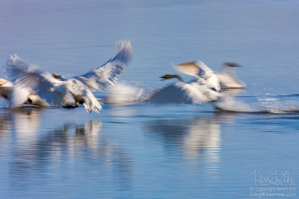 A long exposure captures the motion of trumpeter swans (Cygnus buccinator) taking off from a pond in the National Elk Refuge in Jackson Hole, Wyoming.
