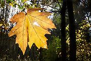 A sunburst through a Bigleaf Maple leaf.