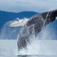 USA, Alaska, Tongass National Forest, Humpback Whale (Megaptera novaengliae) breaching in Frederick Sound on summer morning