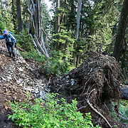 A fallen tree root ball peals away from reconstructed trail. Hike to Owyhigh Lakes (elevation 5259 ft; 7 miles round trip with 1350 feet gain) near White River Campground in Mount Rainier National Park, Washington, USA. Getting there: From Enumclaw, drive east 43 miles on State Route 410 to the Mount Rainier National Park White River Entrance. Veer right onto the Sunrise Road and follow it 3.6 miles to the trailhead parking area about 1 mile after crossing Shaw Creek.