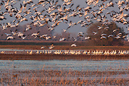 Birds Taking Off in Flight, Merced National Wildlife Refuge, California