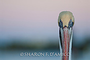 """FLORIDA BROWN PELICAN PORTRAIT, """"HERE'S LOOKING AT YOU"""""""