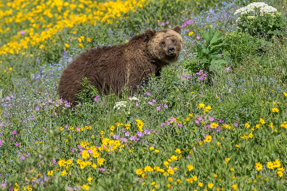 A grizzly, known as the Obsidian sow, poses in a field of wildflowers. She and her cub visited the meadow in midsummer to feast on the abundant vegetation above 8,000 feet.