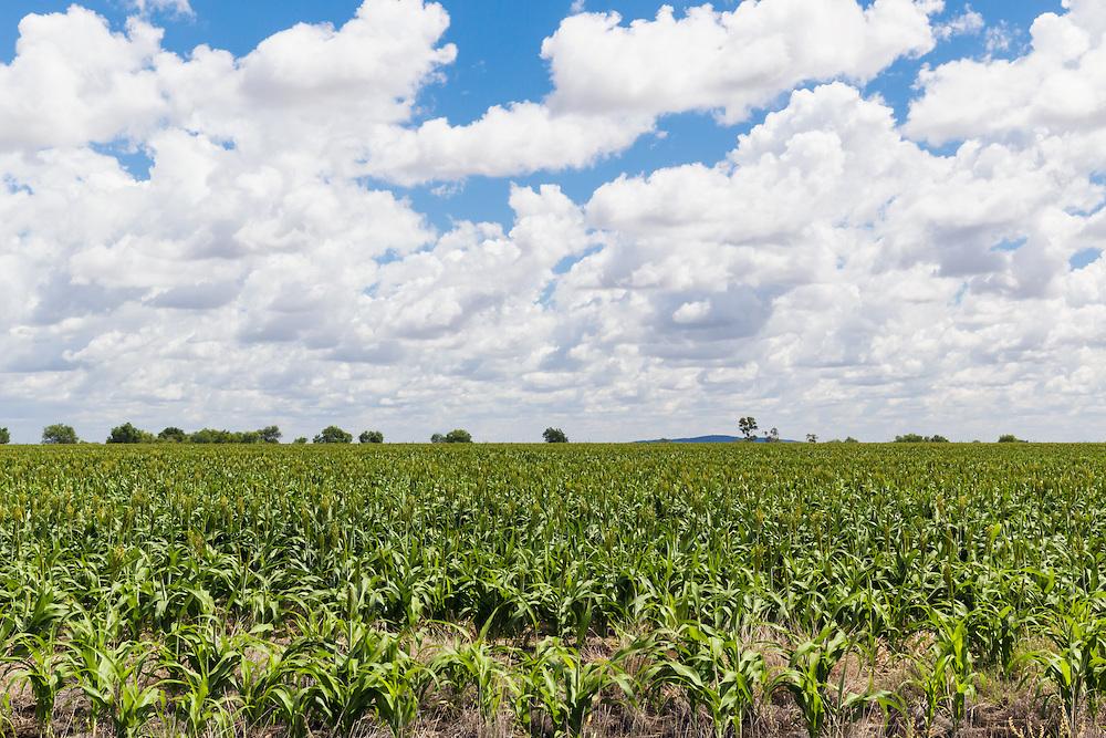 Sorghum crop in farm paddock under clouds near Moranbah, Queensland, Australia