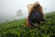 Tea plucker at work in mist and rain on Dambatenne estate.