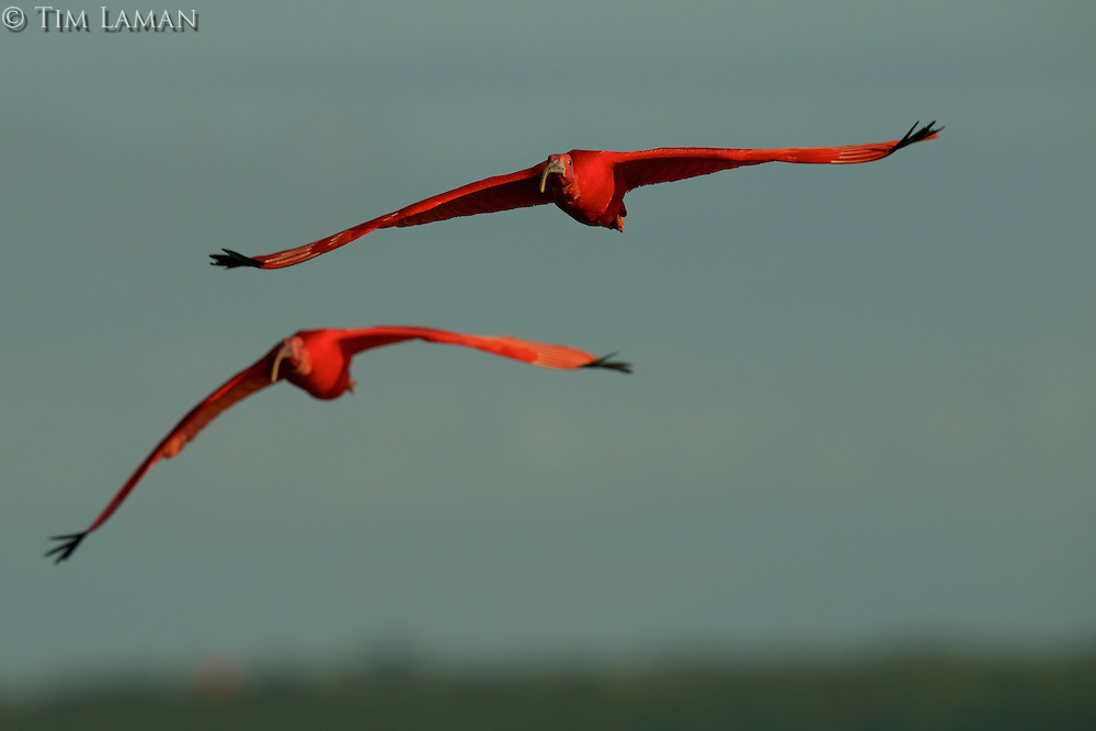 A pair of Scarlet Ibises (Eudocimus ruber) flying through the sky with the forest behind in Delta Amacuro, Venezuela.