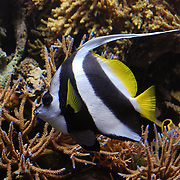 Angelfish with black stripes and yellow tail.  Taken at the Monterey Aquarium in California.