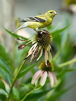 Pigeon release in Hustonville and goldfinches on coneflowers in Lexington, Ky. on 8/9/12. Photo by David Stephenson