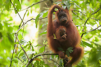Adult female Walimah with one month old infant.<br />Scratching head and looking toward camera.<br /><br />Bornean Orangutan <br />Wurmbii Sub-species<br />(Pongo pygmaeus wurmbii)<br /><br />Gunung Palung Orangutan Project<br />Cabang Panti Research Station<br />Gunung Palung National Park<br />West Kalimantan Province<br />Island of Borneo<br />Indonesia