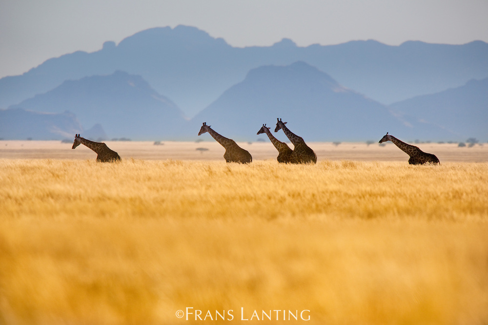 Giraffes crossing grassy plains, Giraffa camelopardalis, Namib-Naukluft National Park, Namibia
