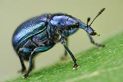 Weevil (Byctiscus betulae), The Biosphere Reserve 'Niedersächsische Elbtalaue' (Lower Saxonian Elbe Valley), Germany | Wie die meisten Rüsselkäfer gehört der Rebstecher oder Rebstichler (Byctiscus betulae) mit nur 5 bis 7 mm Körperlänge zu den kleinen Käferarten. Durch seinen schillernden Chitinpanzer sieht er dennoch sehr prächtig aus. Neben solchen grün-violett schimmernden Exemplaren gibt es auch Artgenossen mit gold-grüner Färbung.