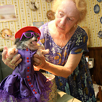Papietha, one of Mrs. Snith's older long-haired Chihuahuas, is a mascot of one of the red hat clubs in Auburn.  Photo by Elliot Knight