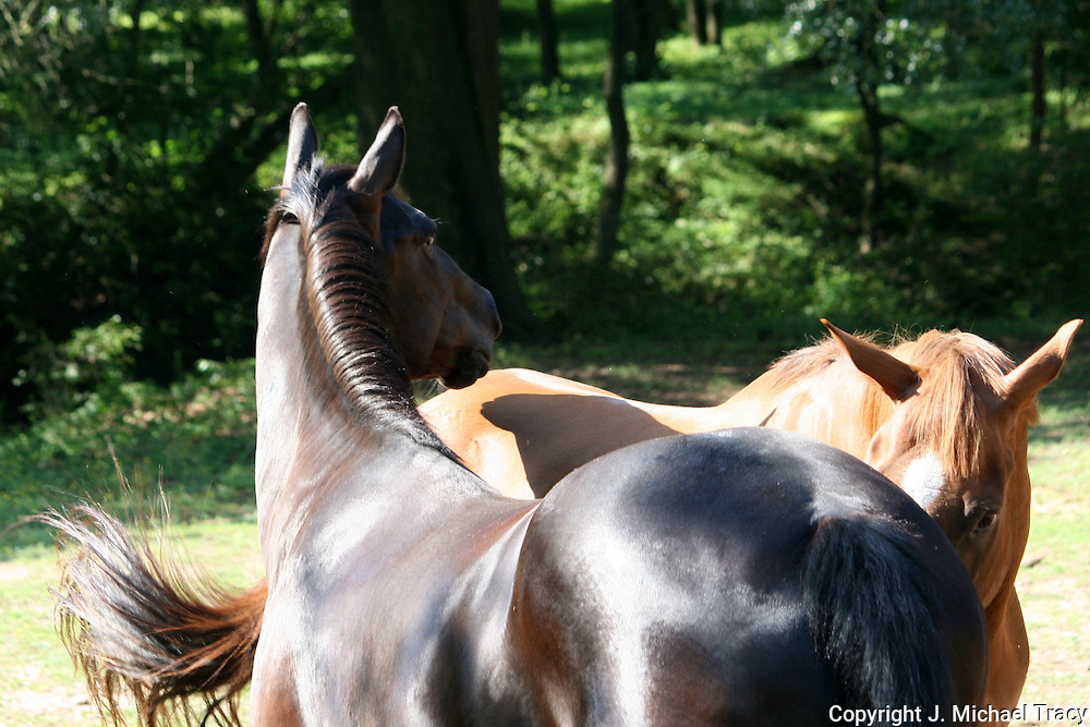An obsidian colored Gelding is undisputed leader of the herd.