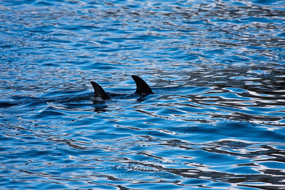 Bottlenose Dolphin, Fiordland, New Zealand