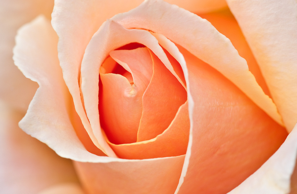 Peach rose background