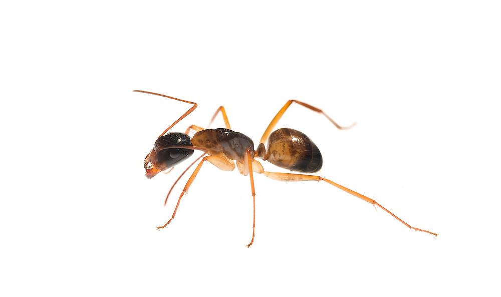 Spine-Waisted Ant  (Aphaenogaster sp)