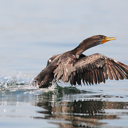 Cormorant takes off, Little Harbor, New Castle NH