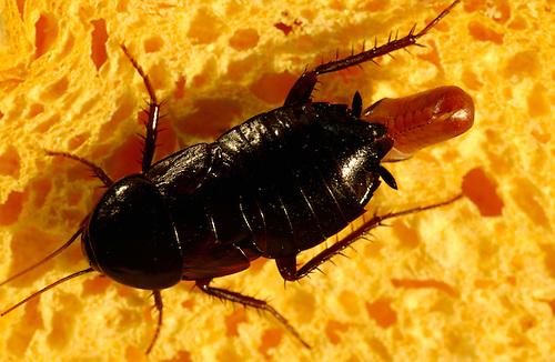 Küchenschabe Deutschland ~ oriental cockroach (blatta orientalis), female carrying