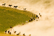 Horse (Equus caballus) herd moving from Montana winter pasture to summer pasture, kicking up dust