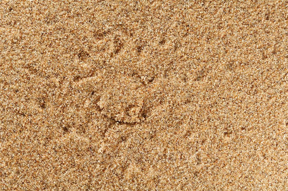 """Die zu den Riesenkrabbenspinnen gehörenden Dünenspinnen der Namib tarnen die Eingänge ihrer 50 cm tiefen Höhlen mit einer sandbedeckten Klappe aus Spinnenfäden. Die imposanten, bis zu knapp handtellergroßen Spinnen können 2 bis 5 g schwer werden und hinterlassen im Dünensand bei den nächtlichen Jagdausflügen deutlich sichtbare Spuren, anhand derer man die fast unsichtbaren Eingänge finden kann. Wissenschaftler rätseln, wie z.B. die """"Weiße Tänzerin"""" genannte Spinne (Leucorchestris arenicola) in stockfinsterer Nacht aus einem Radius von bis zu 90 m schnurgerade zu ihrer Höhle zurückfinden kann."""