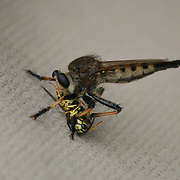 A Robber Fly catches a Yellow Jacket Wasp then lands on a car door panel to eat it.