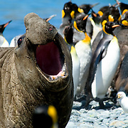 A male elephant seal roars defiantly among a group of King Penguins on South Georgia [Island] in the South Atlantic.