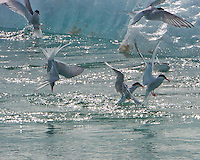 Arctic Tern Fishing Frenzy. Breiðamerkurjökull Glacier at the Jökulsárlón Lagoon in Southeast Iceland. Image taken with a Nikon 1 V2 camera, FT1 adapter, and 80-400 mm VRII lens (ISO 400, 400 mm, f/16, 1/1000 sec). Nikonians Academy Iceland Photo Adventure Tour.