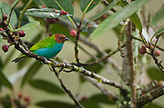 Bay-headed Tanager (Tangara gyrola)<br /> Mindo<br /> Cloud Forest<br /> West slope of Andes<br /> ECUADOR.  South America<br /> HABITAT &amp; RANGE: Canopy and borders of humid forest, secondary woodland and clearings from lowlands up into subtropics on both slopes of the Andes.