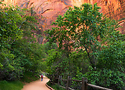 Fremont Cottonwood (Populis fremontii) trees lining the Riverside Walk in Zion National Park.