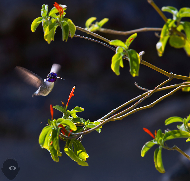 A hummingbird hovers near a flower ready too collect more nectar,